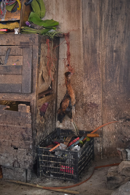 live chickens at market Northern Laos