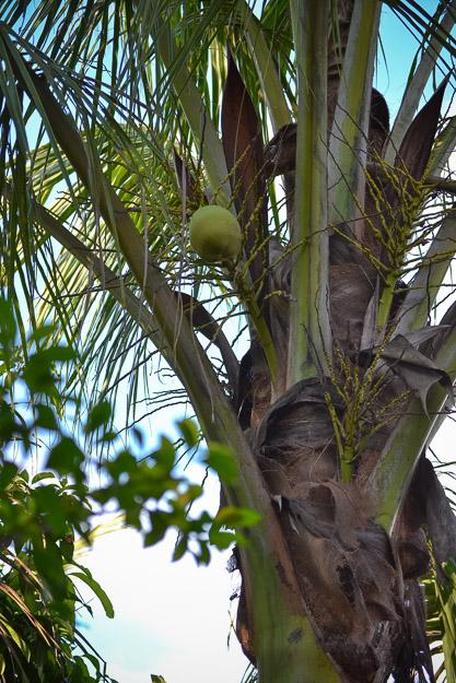 09-21-2014 Coconuts by Melissa Crossett-2